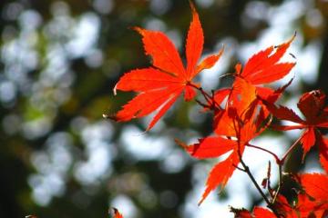 岳麓山顶初现红枫 想看大片红枫要等到11月下旬