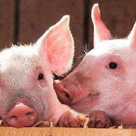 猪瘟病毒攻关取得进展