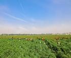 柘城辣椒入選中國農業品牌目錄2019農產品區域公用品牌