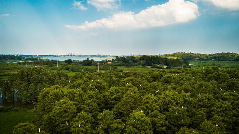 84白鹭岛上鹭鸟欢 水清岸绿 一片生态景象