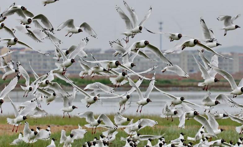 河北:坝上湿地遗鸥舞