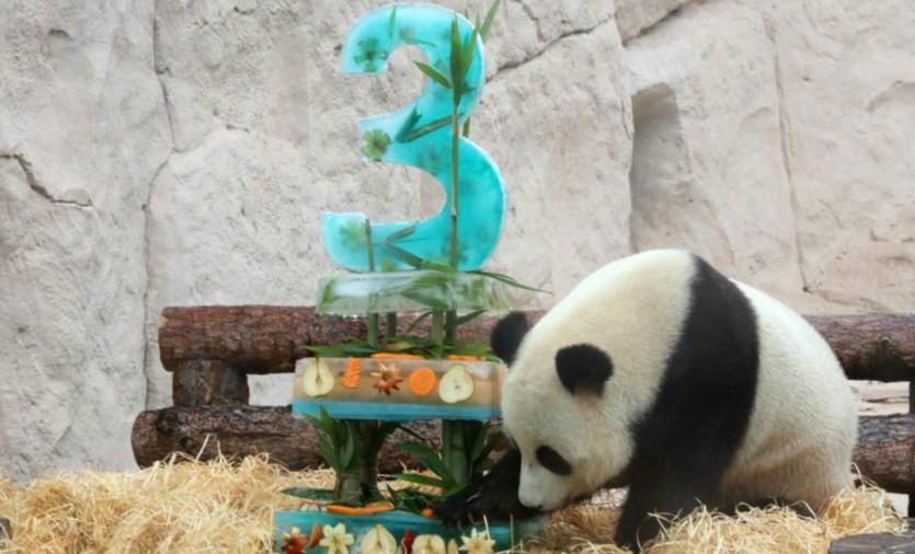 旅俄大熊貓迎生日 莫斯科動物園辦慶生派對