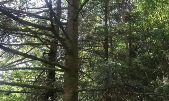 湖南南山国家公园发现1100余株资源冷杉