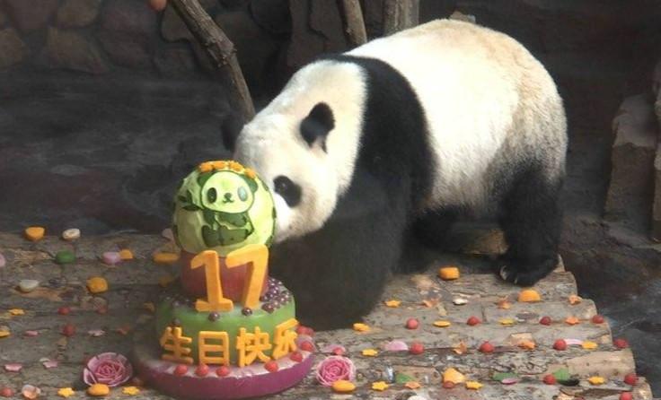 """蛋糕、粉丝团还坐上大花轿,济南这个大熊猫待遇不一般"""""""