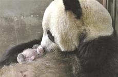 大熊猫楼生诞下幼崽 今年陕西新生大熊猫增至三只