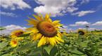南通百亩向日葵悄然绽放 蜜蜂飞舞花间