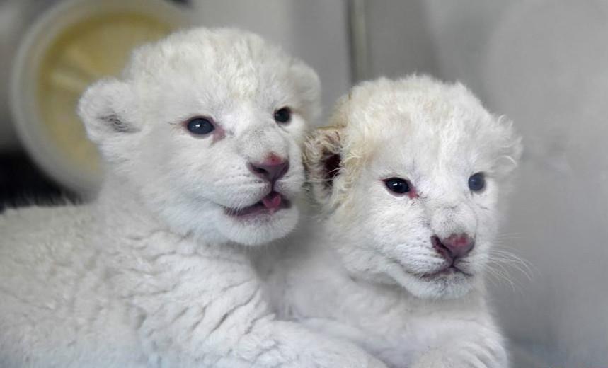 """济南:""""龙凤胎""""白狮出生 珍稀又可爱"""