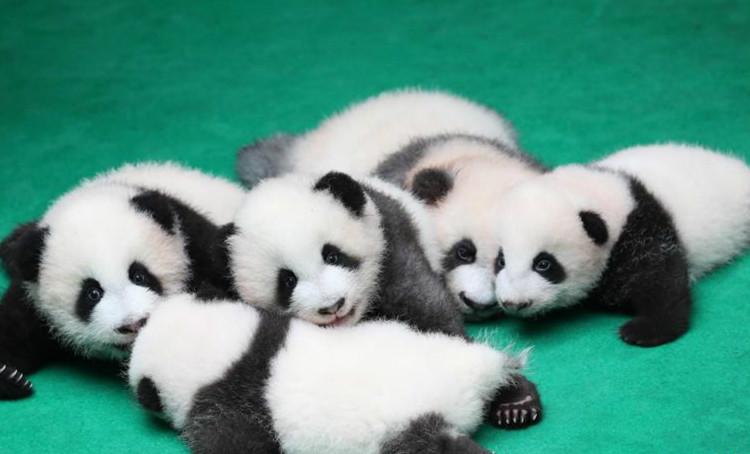 成都:7只新生大熊猫齐亮相