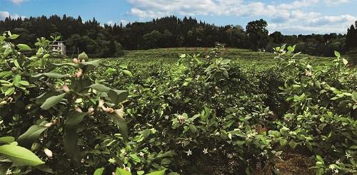 汇达柠檬种植基地 潼南区委宣传部供图