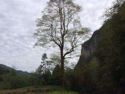 靖州发现500多年紫薇古树群落 分布面积150余亩