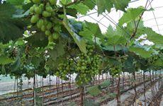 葡萄成为陕西果业新亮点 面积全国第三产量全国第八