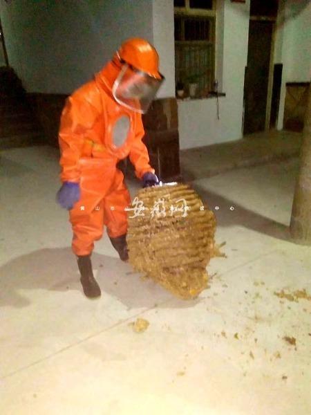 黄山休宁中学出现超大毒蜂窝 直径约85厘米!