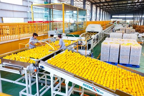 柠檬自动分选线 潼南区委宣传部供图