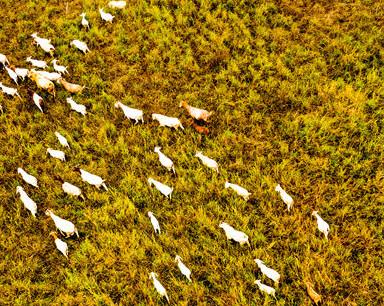 安徽庐江:稻茬田里养山羊