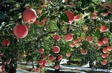三农聚焦:陕西苹果产业转型升级 听专家怎么说