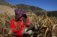 榆林靖边:荒坡变良田,有机小米做成特色品牌