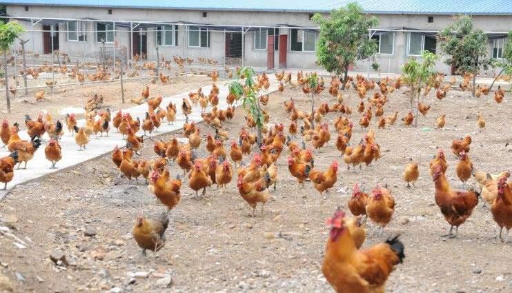 打造优质畜禽产品供应基地 湖南养殖业加快转型升级