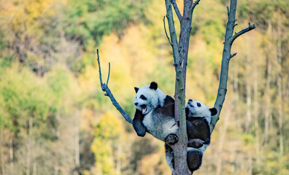 汶川卧龙大熊猫秋日萌照 玩耍、睡觉萌态十足