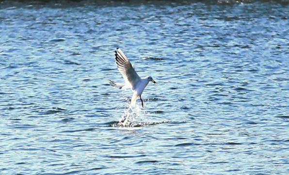 """南湖来了红嘴鸥 快来看它们捕鱼的精彩画面"""" width="""