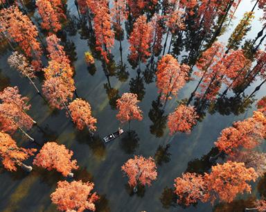 涨渡湖湿地万余棵池杉树叶由青转红 宛如童话世界
