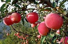 洛川苹果品牌价值居全国水果类第一名  品牌估值超500亿元