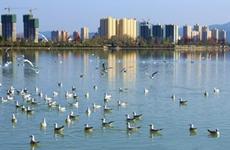 首批600余只红嘴鸥昨飞抵汉中湿地公园越冬 次年四五月回北方