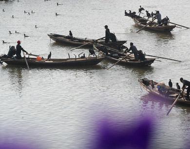 鸬鹚捕鱼 演绎鄱阳湖畔最美风景