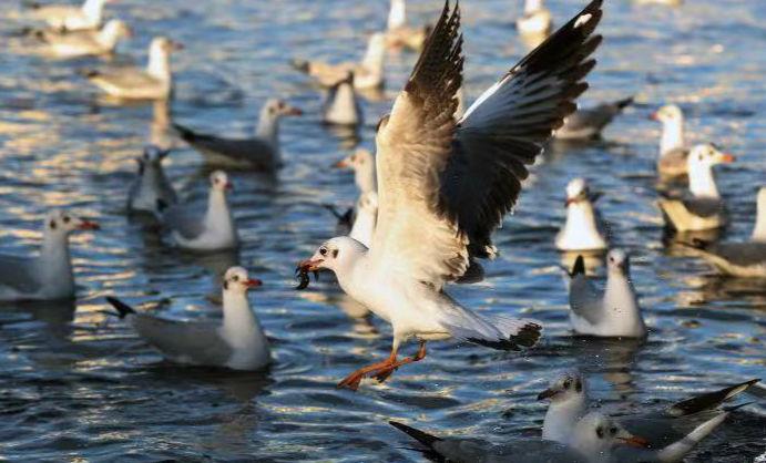 【高清大图】西洱河畔 人鸥同欢