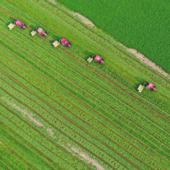 蚌埠五河开镰收割十万亩紫花苜蓿