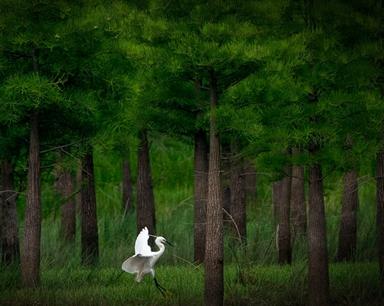 合肥:水源生态美 鹭鸟栖息地【组图】