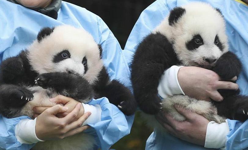 """旅比大熊猫双胞胎获""""年度熊猫幼仔奖"""""""" width="""