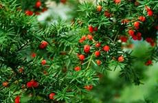 陕西将加强秦岭红豆杉保护 将其作为生态和健康战略储备项目