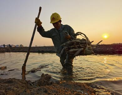 夕阳下的挖藕人
