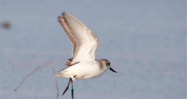 湛江发现28只全球极度濒危鸟类勺嘴鹬