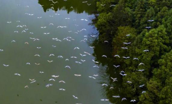 """江西仙女湖:群鹭翔集春风里"""" width="""