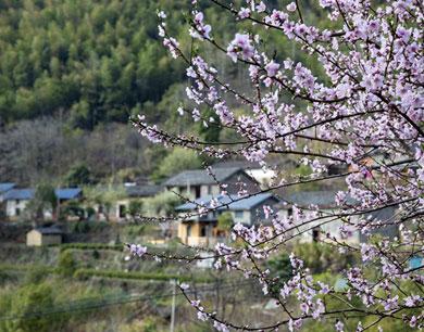 江西庐山市:桃花源里桃花开