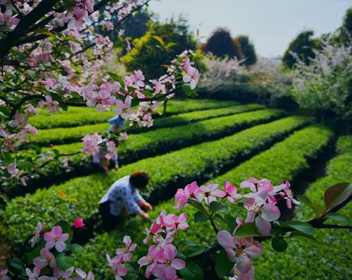 云上相约 第十届成都采茶节在蒲江开幕