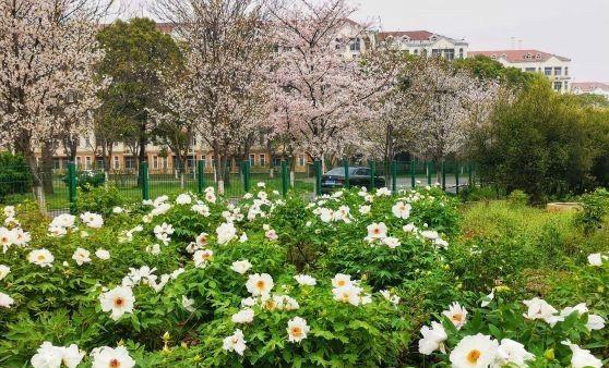 牡丹樱花相映成趣