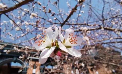 最美人间四月天,冰城春花竞相开