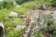 秦岭再次拍摄到野生金钱豹 目前秦岭约有250多只野生金钱豹