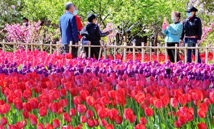 秦皇岛海港区举办郁金香花展 22万株郁金香为你开