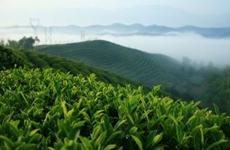 前4月汉中海关支持茶叶出口近160吨 金额达581.8万美元