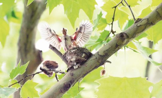 林中精灵 寿带 首次安家武汉动物园