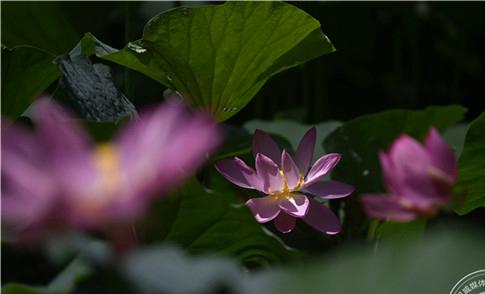 千朵莲花千朵姿态