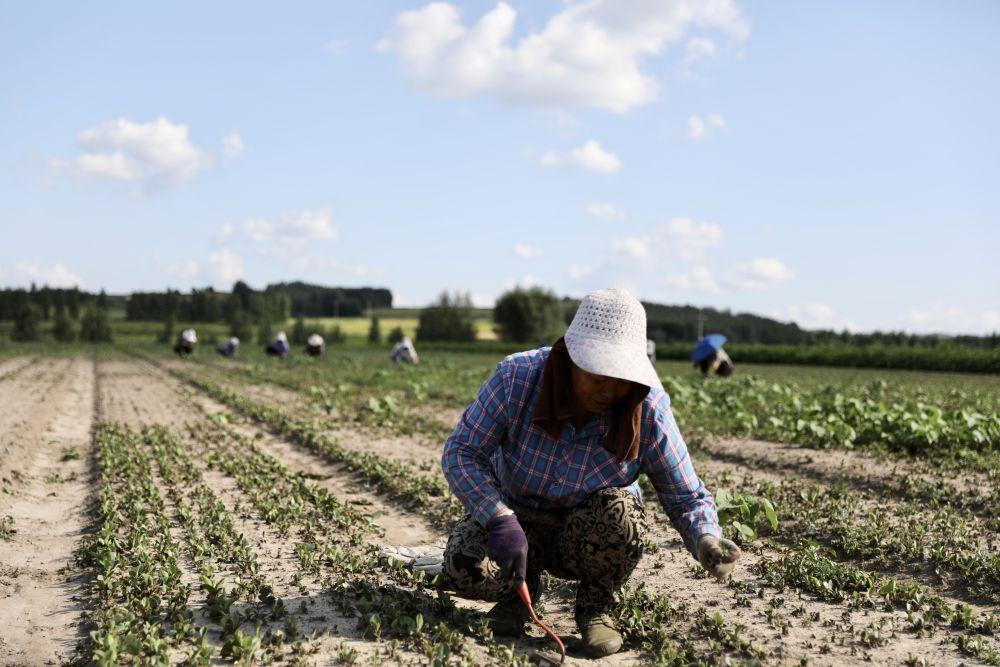 农民在黑龙江省勃利县恩硕中药种苗繁育有限责任公司种植基地锄草。王春雨摄