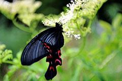 铅山:现世界珍稀蝴蝶——宽尾凤蝶