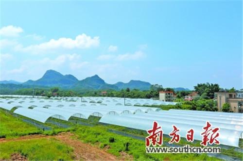 古竹镇雅色村百余亩葡萄园大棚铺展在越王山前平原,成为村民脱贫致富的重要抓手。 蒋才虎 摄