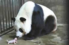 秦嶺大熊貓研究中心再傳喜訊:大熊貓又誕雙胞胎