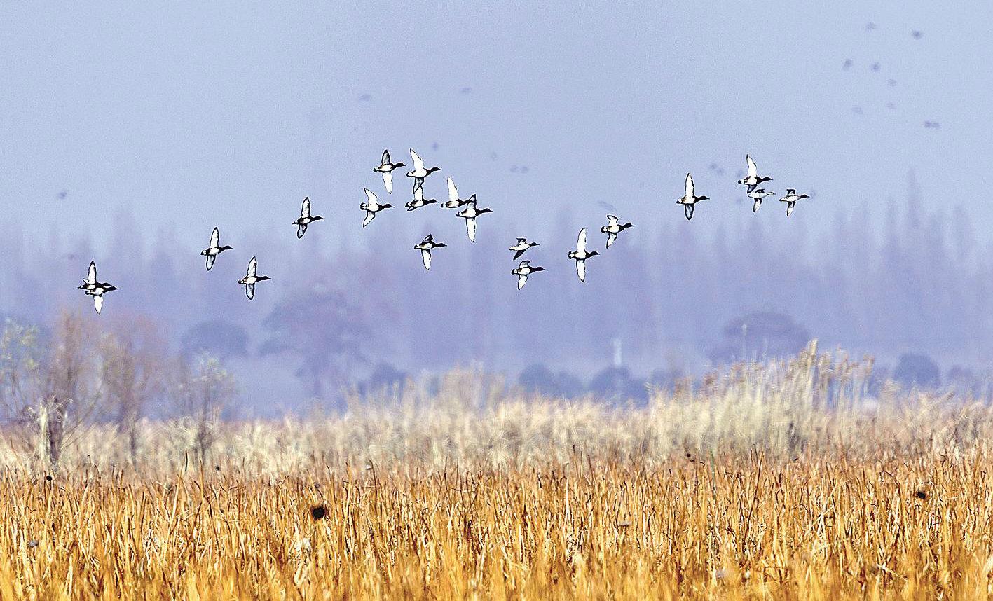 每年逾百萬只越冬水鳥翩然來鄂
