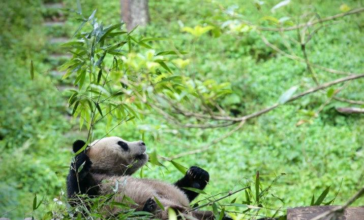 國寶大熊貓明日啟程赴豫 探訪今天他們是怎樣度過的?